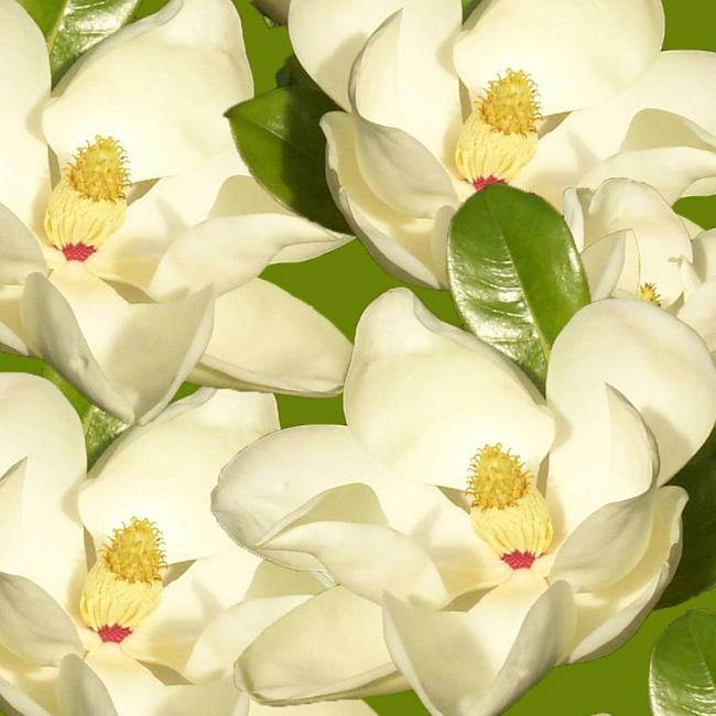 Ednocvetna magnolia Balchik